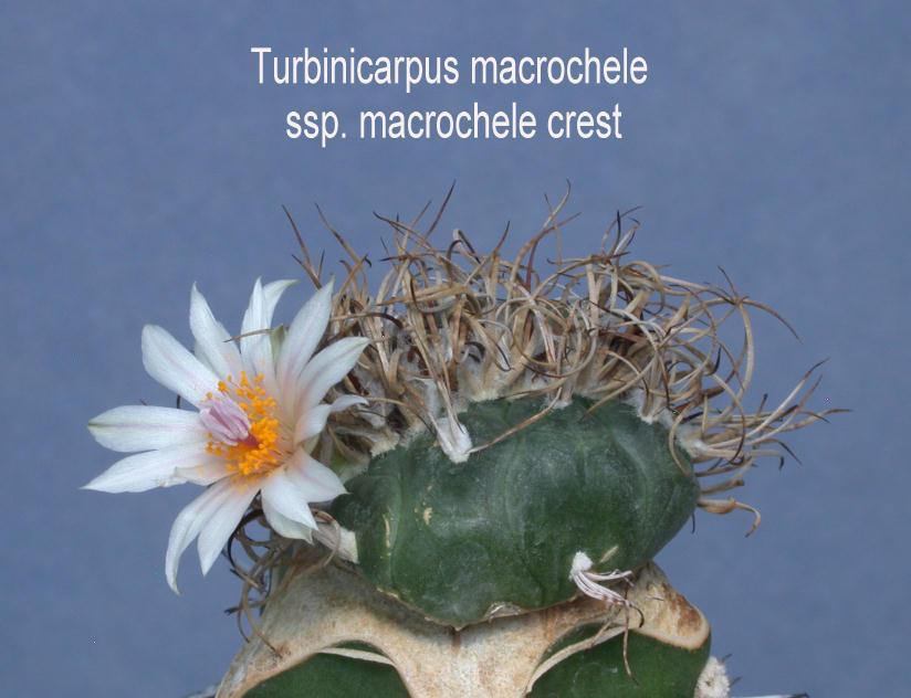 turbinicarpus macdougalii crest hj potg spines flowers fan